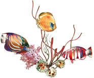 Blue Ring Angelfish, Golden Butterfly Fish, Harlequin Tuskfish and Coral