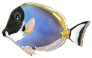 Powder Blue Surgeon Fish