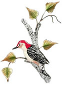 Red-Bellied Woodpecker on Birch Wall Sculpture