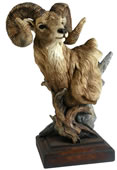 Level Headed Big Horn Sheep Sculpture