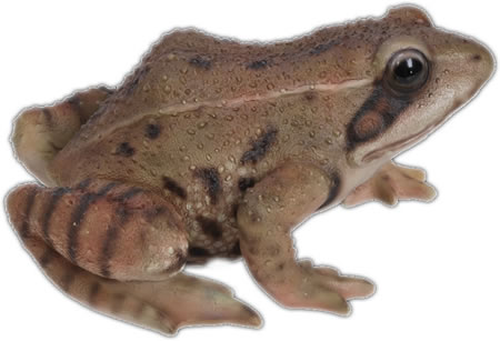 Realistic Frog Statue- 8.25