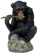 Chimpanzee Chewing Branch